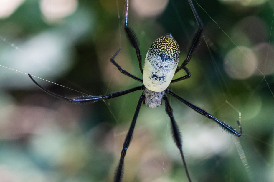 Golden Orb spider, insect, spider, web